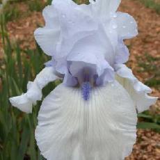 Iris  'John Hoehner'