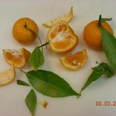 Citrus deliciosa  'Eze'