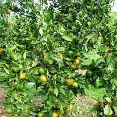 Citrus unshiu  'Owari'