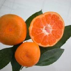 Citrus unshiu  'Okitsu'