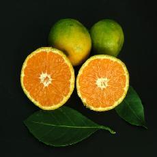 Citrus unshiu  'Clausellina'