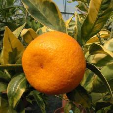 Citrus unshiu  'Variegata'