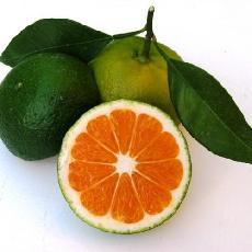 Citrus unshiu  'Sugiyama'