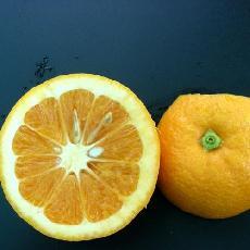 Citrus sinensis  'Mme Vinous'