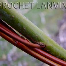 Salix arbutifolia