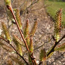 Salix silesiaca