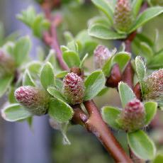 Salix subulatus