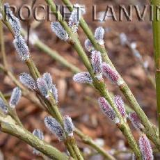 Salix x rubra  'Howkii'