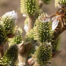 Salix x thaumastu