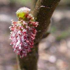 Salix crataegifolia
