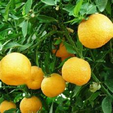 Citrus aurantium  'Myrtifolia macrophylla'