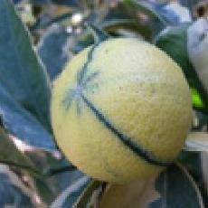 Citrus sinensis  'variegata'