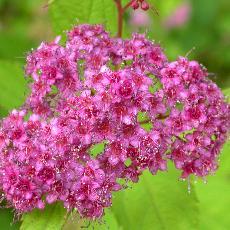 Spiraea japonica  '27'