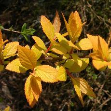 Spiraea japonica  '28'