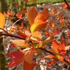 Spiraea japonica  '29'