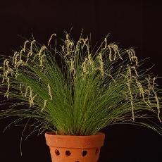 Dendrochilum tenellum