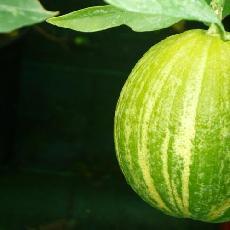 Citrus sinensis  'variegata Rayée du Brésil'