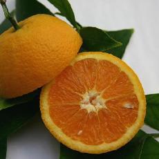 Citrus sinensis  'Gosset'