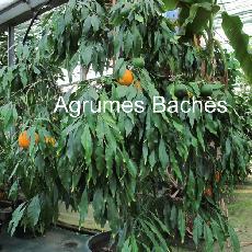 Citrus aurantium  'Salicifolia'
