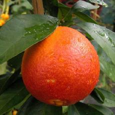 Citrus sinensis  'sanguinelli'