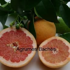 Citrus paradisi  'Riored'