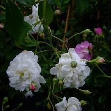 Rosa  'Anatole de Montesquieu'