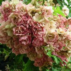 Rosa  'Francis'