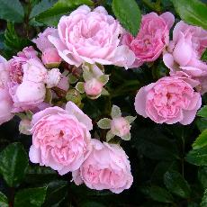 Rosa  'Beauty Fairy'