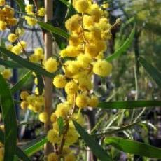 Acacia gladiiformis
