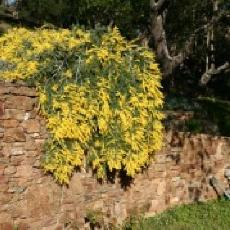 Acacia dealbata  'couvre-sol'