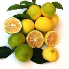 Citrus sudachi