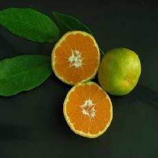 Citrus unshiu  'Pucheng'