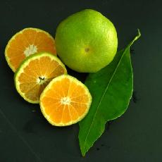 Citrus unshiu  'Wase'