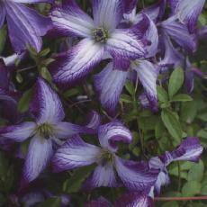 Clematis viticella  'I Am (R) Lady J Zoiamlj'