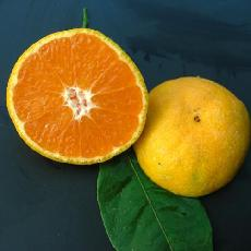 Citrus unshiu  'Miyagawa'