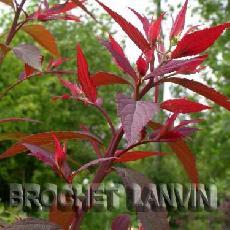 Spiraea japonica  '32'