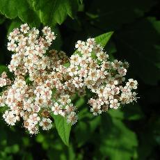 Spiraea japonica var. himalayensis