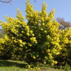 Acacia dealbata  'Mirandole X'
