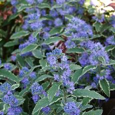 Caryopteris  'White Surprise'