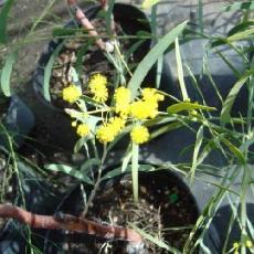 Acacia hemiteles