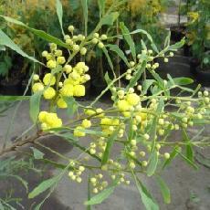 Acacia retinodes  'Imperial'
