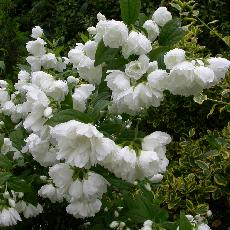 Philadelphus  'White Rock'