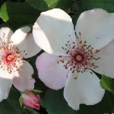 Rosa  'Astronomia (R) Meiguimov'