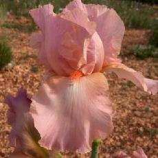Iris  'Dixie Darling'