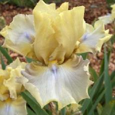 Iris  'Doublemint'