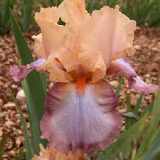 Iris  'Peach Picotee'