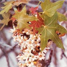 Brachychiton acuminatus