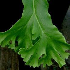 Asplenium scolopendrium f. ramosa