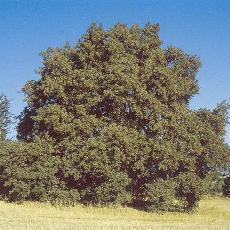Quercus infectoria subsp. boissieri