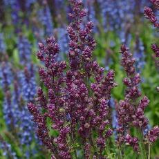 Salvia x sylvestris  'Plumosa'